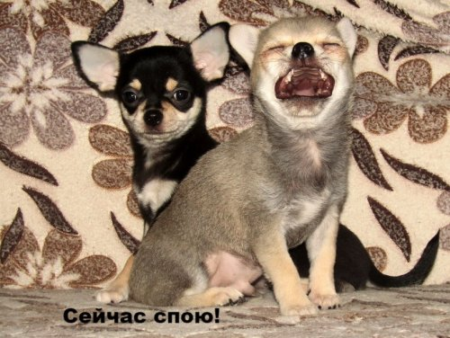 """""""Блэк Джин"""" - питомник Чемпионов (Москва)"""